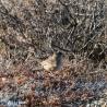 Lifer! Golden-crowned Sparrow :)