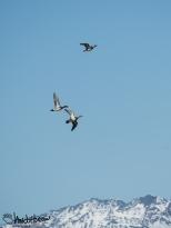 American Widgeon taking flight over the mountains