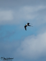 Long-tailed Jaeger, check out that tail!