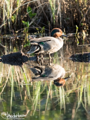 A small pond behind the cabin was home to this green-wing teal