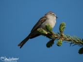 This Chipping sparrow was a new bird for the cabin, and an unusual one for so far north.