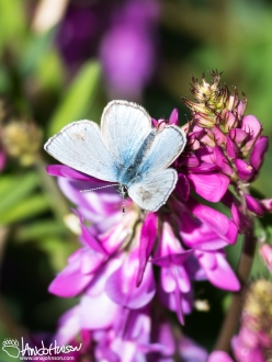 In Fort Yukon I was fortunate to capture this Northern Blue Butterfly perched on a Wild Sweet Pea