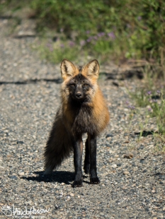 A shot of the cross fox checking me out.