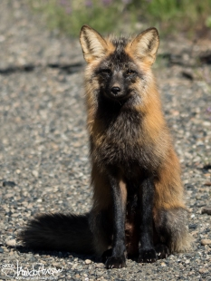 This cross fox is an unsual color phase! It's actually just a red fox, but an incredible treat to see!