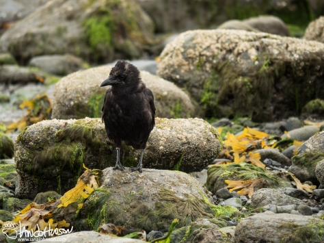 Northwestern Crow, Bishop Beach, Homer, Alaska