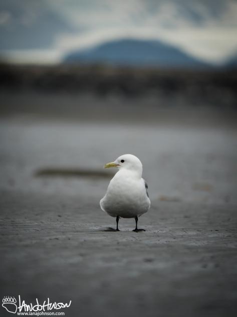 Black-legged Kittiwake, Homer, Alaska