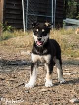 Alaskan Sled Dog Puppie
